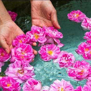 گلاب پوست مو زیبایی
